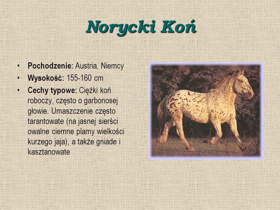 Norycki Koń Pochodzenie: Austria, Niemcy Wysokość: 155-160 cm