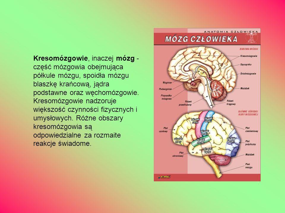 Kresomózgowie, inaczej mózg - część mózgowia obejmująca półkule mózgu, spoidła mózgu blaszkę krańcową, jądra podstawne oraz węchomózgowie.