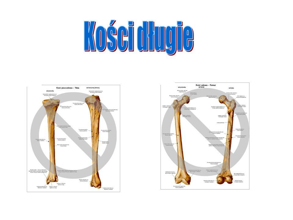 Kości długie