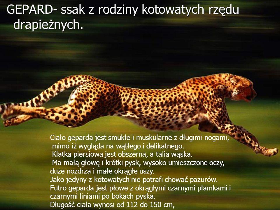 GEPARD- ssak z rodziny kotowatych rzędu drapieżnych.