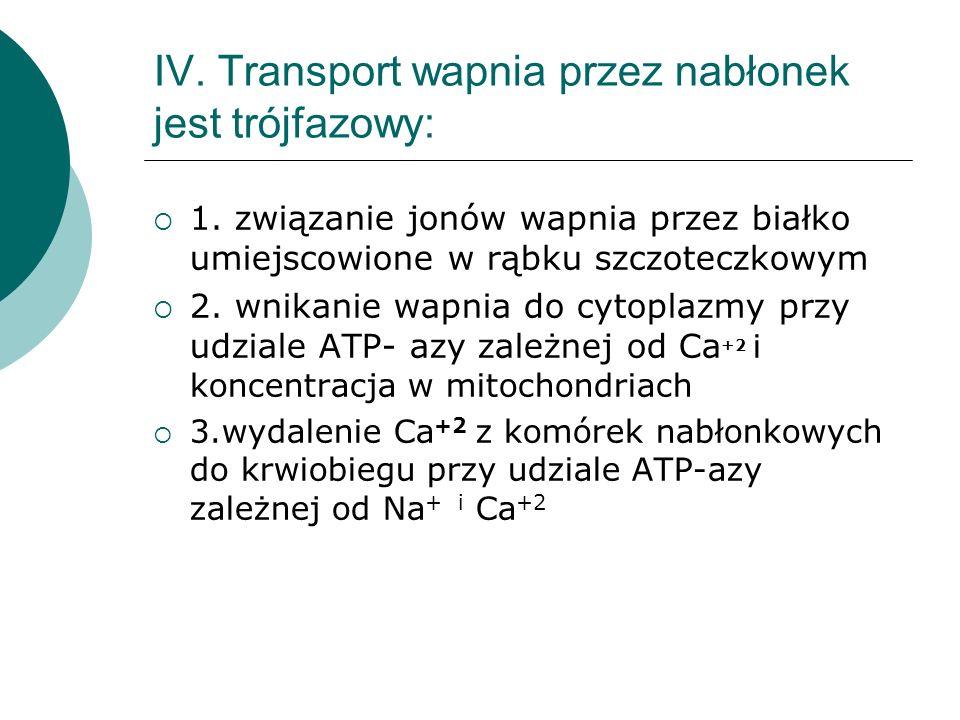 IV. Transport wapnia przez nabłonek jest trójfazowy: