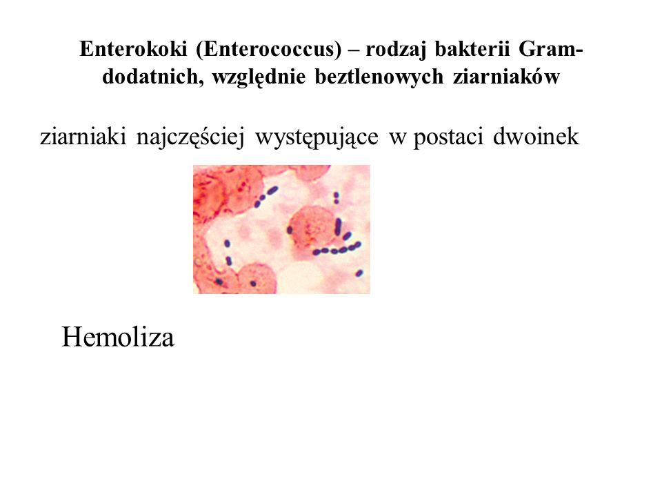 Hemoliza ziarniaki najczęściej występujące w postaci dwoinek