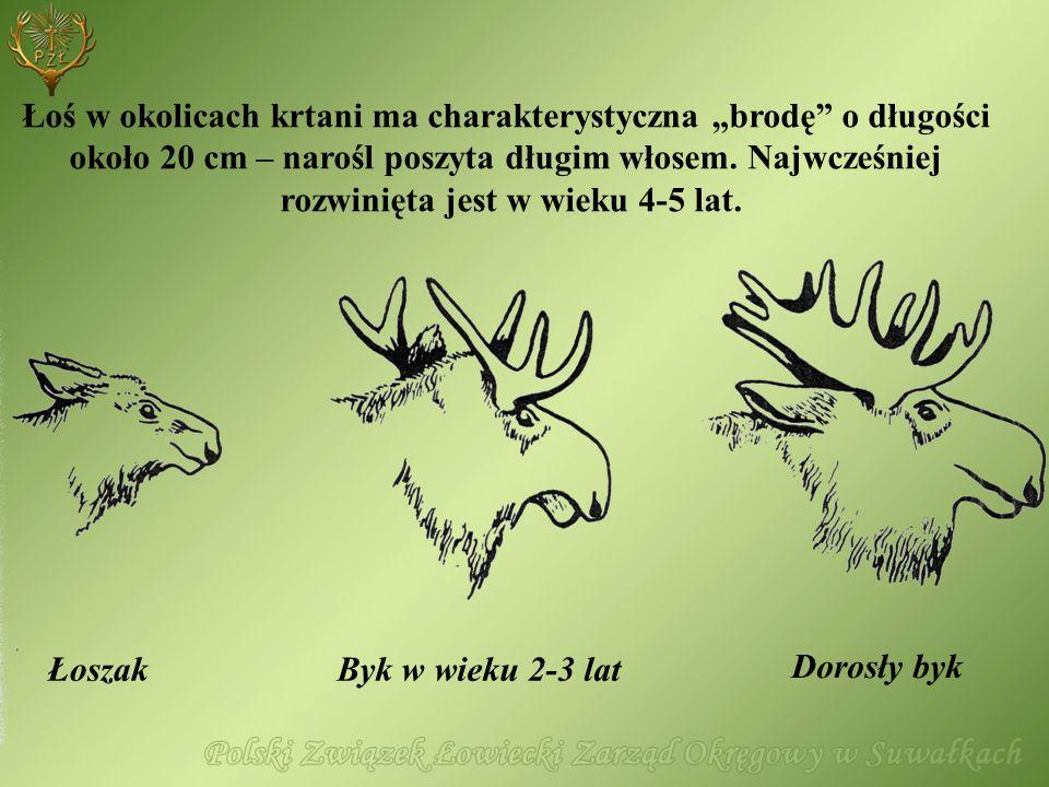 """Łoś w okolicach krtani ma charakterystyczna """"brodę o długości"""