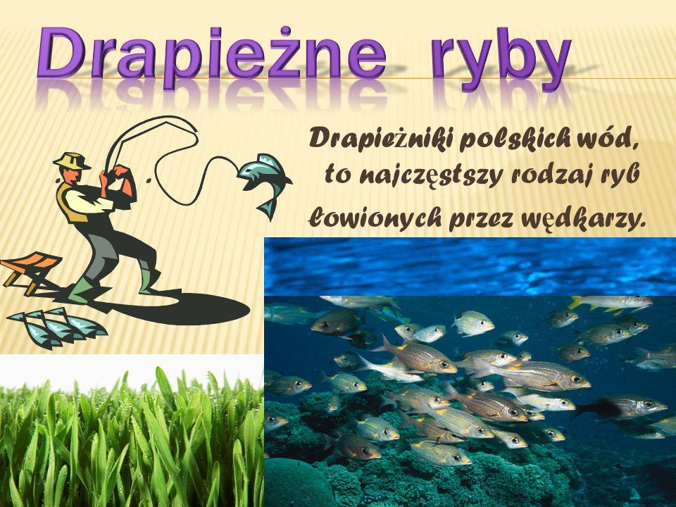 Drapieżne ryby Drapieżniki polskich wód, . . to najczęstszy rodzaj ryb łowionych przez wędkarzy.