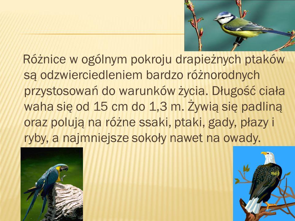 Różnice w ogólnym pokroju drapieżnych ptaków są odzwierciedleniem bardzo różnorodnych przystosowań do warunków życia.