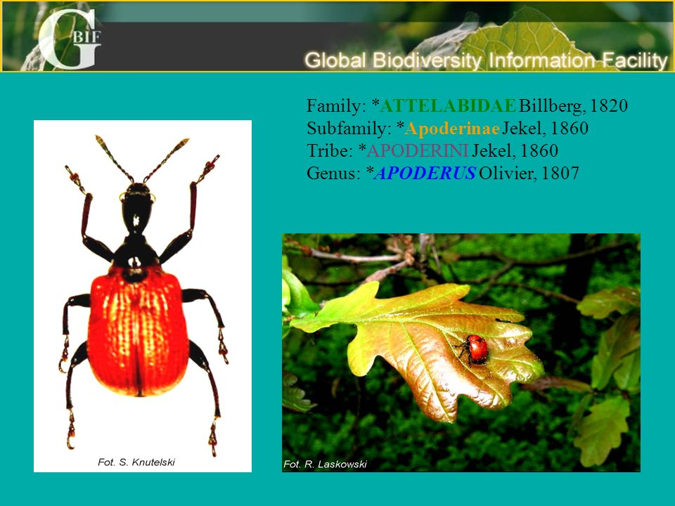 Family:. ATTELABIDAE Billberg, 1820 Subfamily: