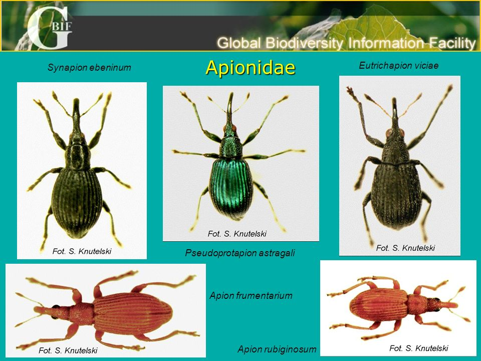 Apionidae Eutrichapion viciae Synapion ebeninum