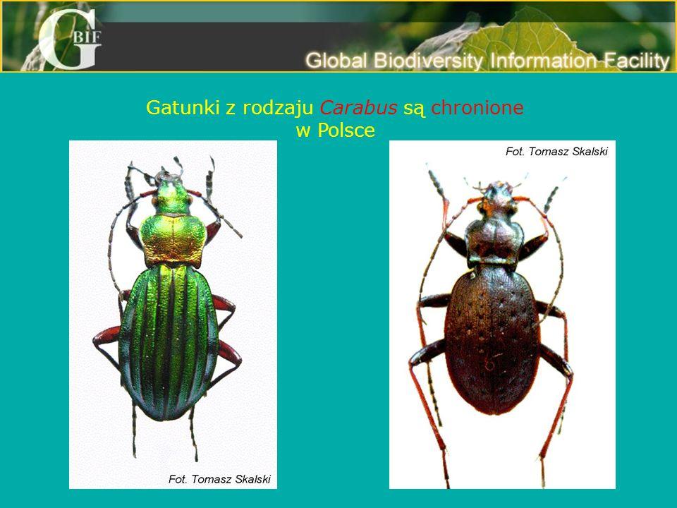 Gatunki z rodzaju Carabus są chronione