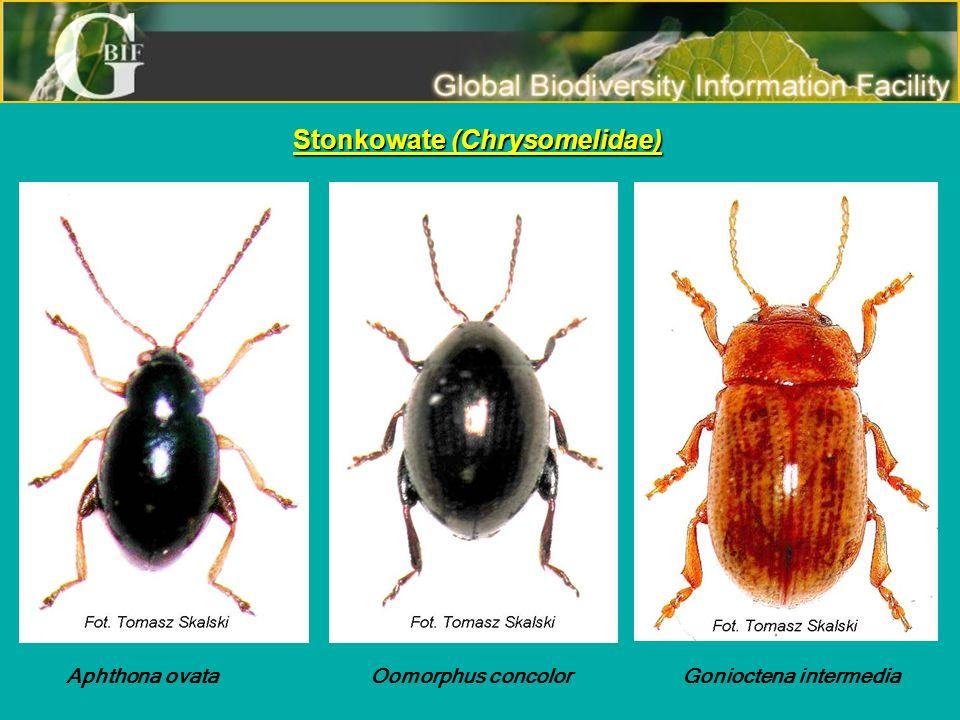 Stonkowate (Chrysomelidae)