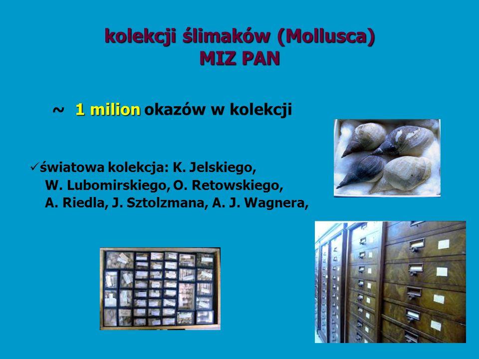 kolekcji ślimaków (Mollusca)