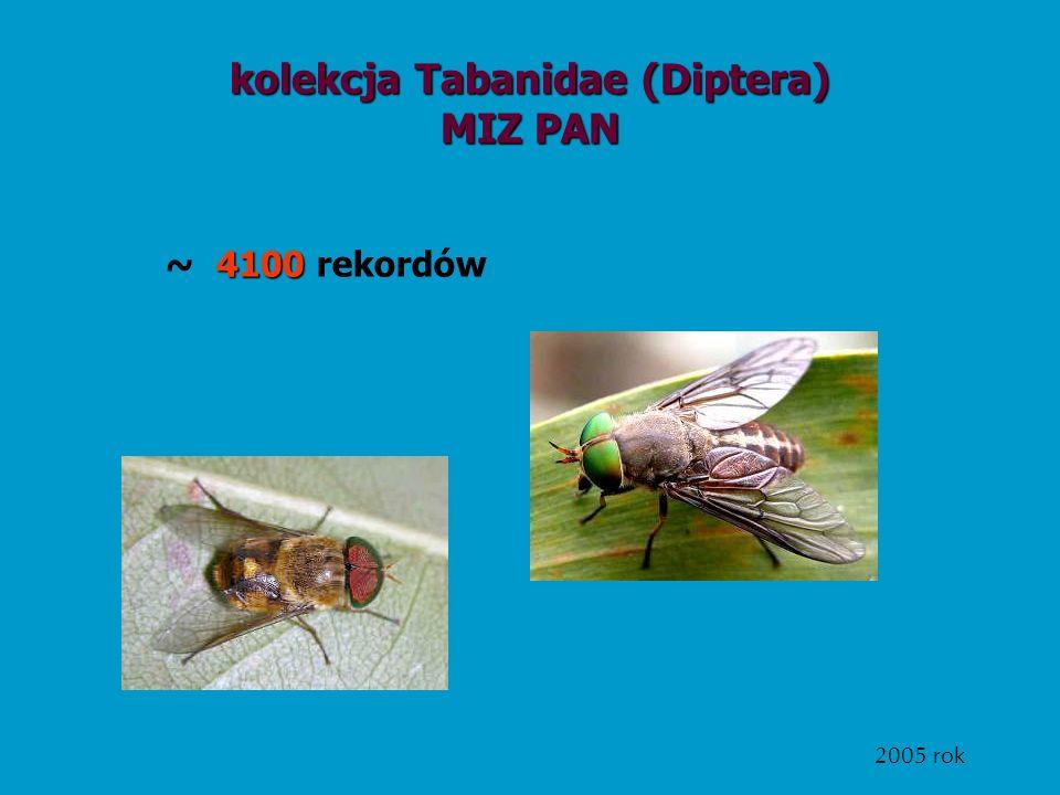 kolekcja Tabanidae (Diptera)