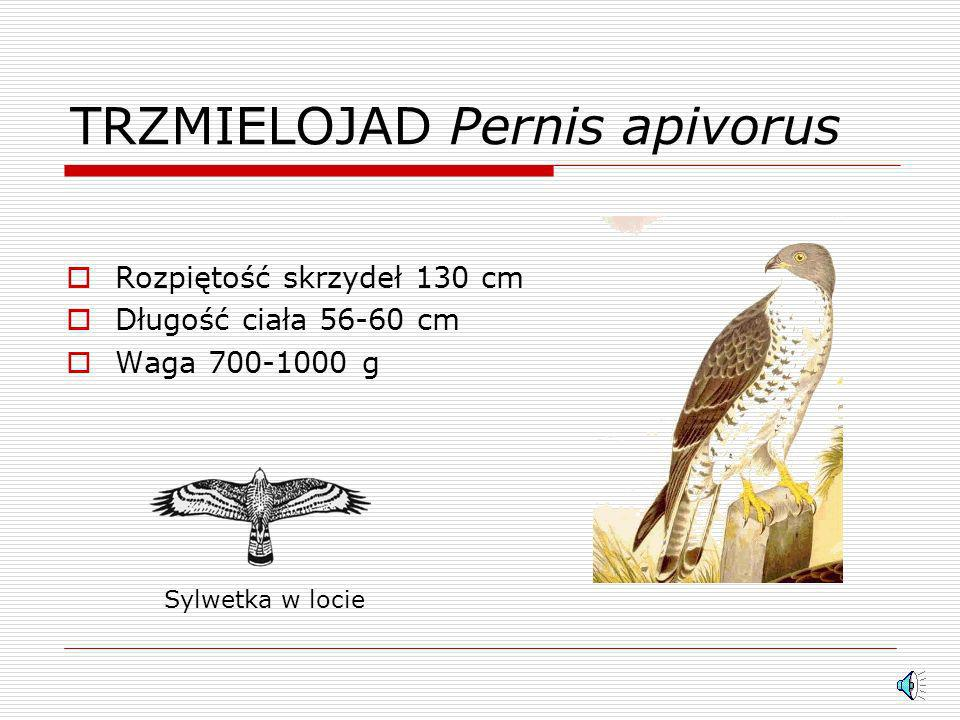 TRZMIELOJAD Pernis apivorus