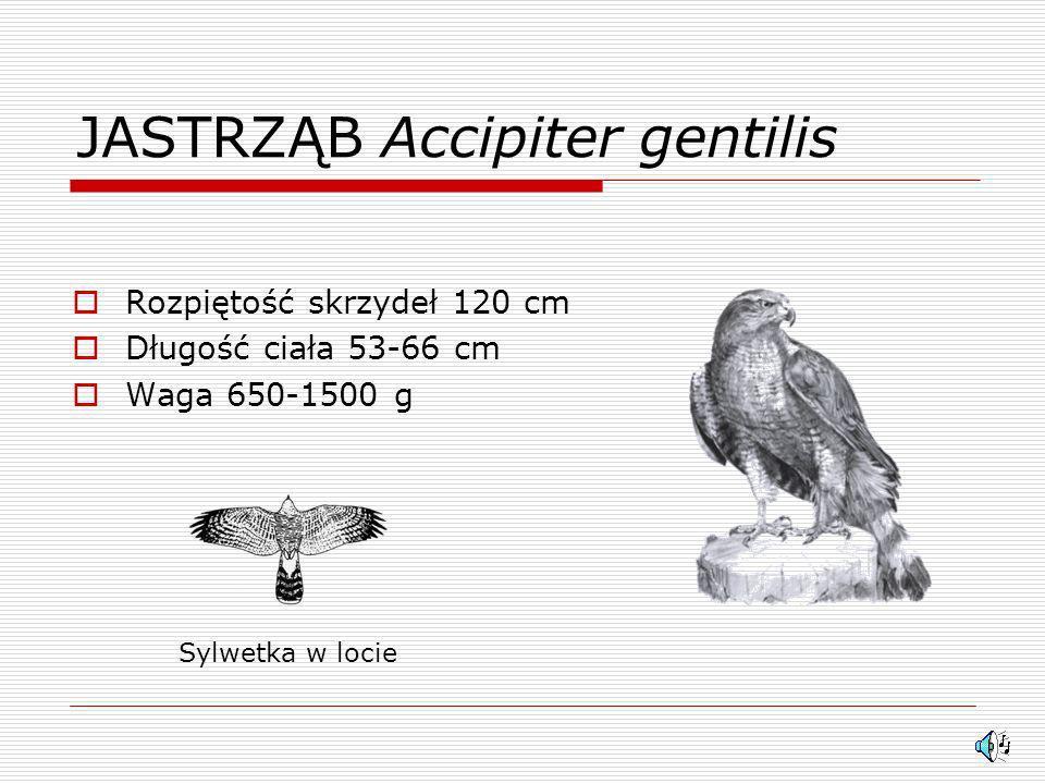 JASTRZĄB Accipiter gentilis