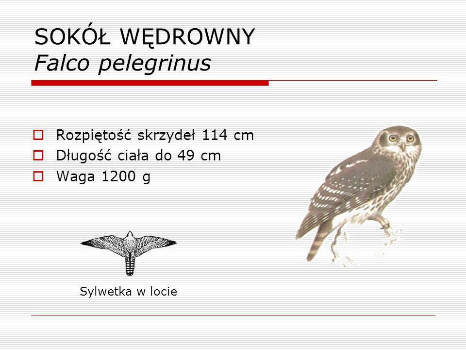 SOKÓŁ WĘDROWNY Falco pelegrinus