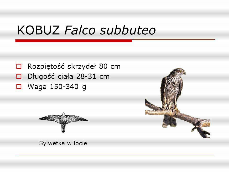 KOBUZ Falco subbuteo Rozpiętość skrzydeł 80 cm Długość ciała 28-31 cm