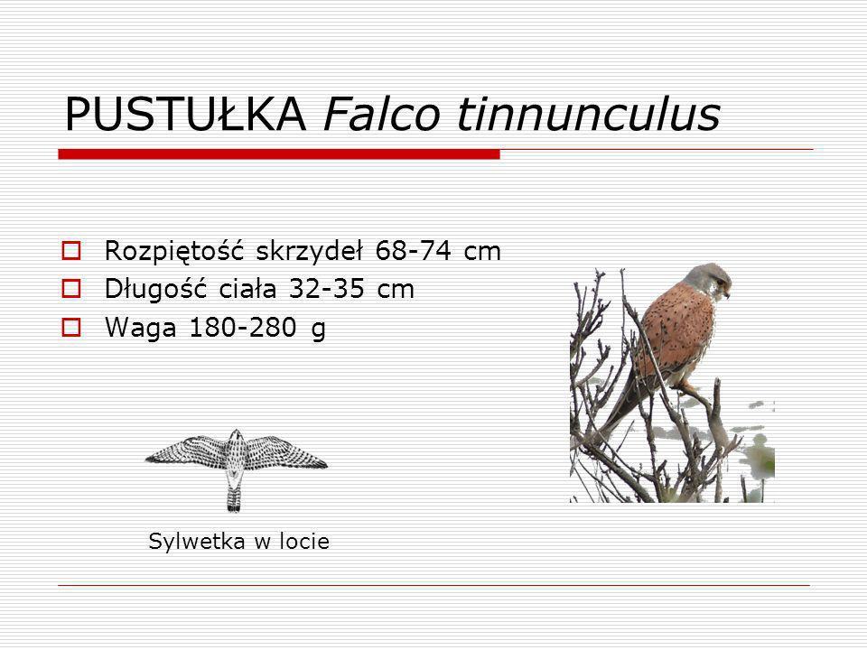 PUSTUŁKA Falco tinnunculus