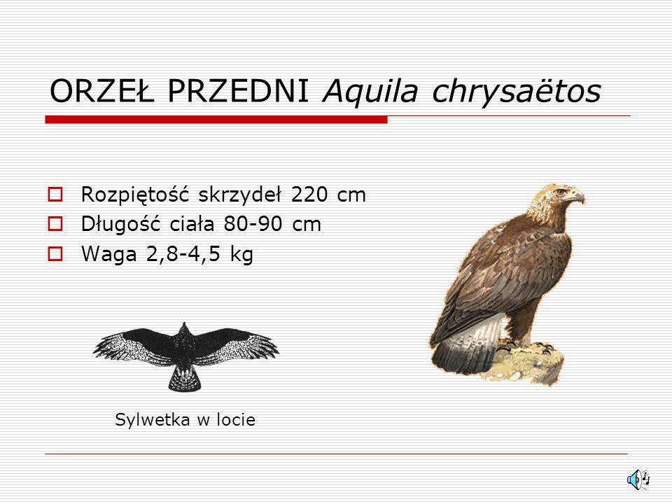ORZEŁ PRZEDNI Aquila chrysaëtos