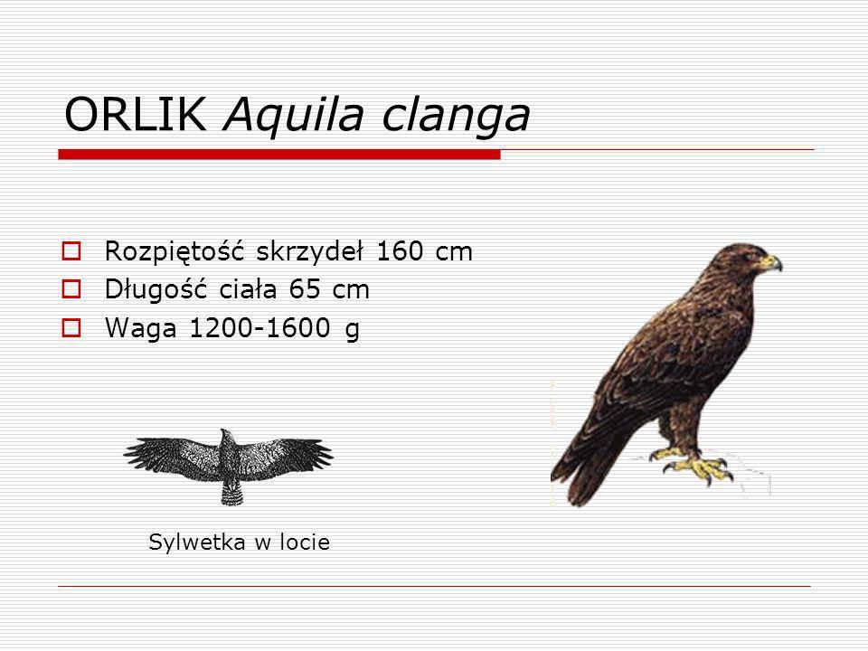 ORLIK Aquila clanga Rozpiętość skrzydeł 160 cm Długość ciała 65 cm