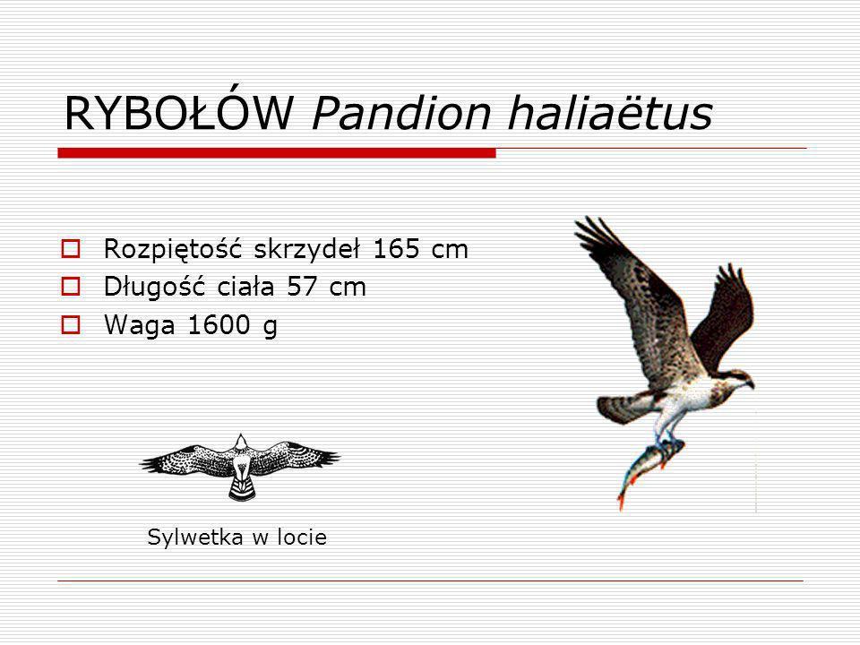 RYBOŁÓW Pandion haliaëtus