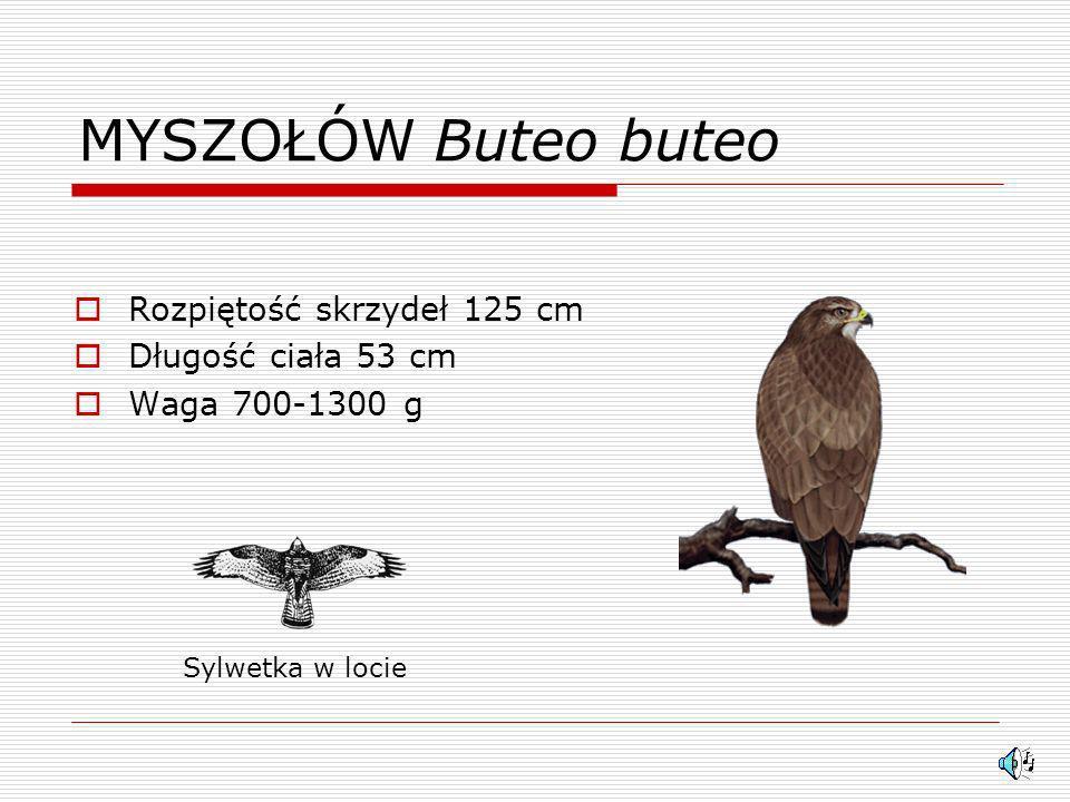 MYSZOŁÓW Buteo buteo Rozpiętość skrzydeł 125 cm Długość ciała 53 cm