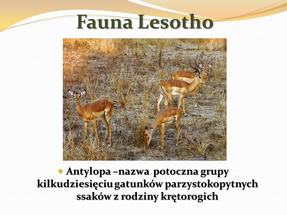 Fauna Lesotho Antylopa –nazwa potoczna grupy kilkudziesięciu gatunków parzystokopytnych ssaków z rodziny krętorogich.