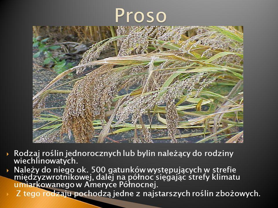 Proso Rodzaj roślin jednorocznych lub bylin należący do rodziny wiechlinowatych.