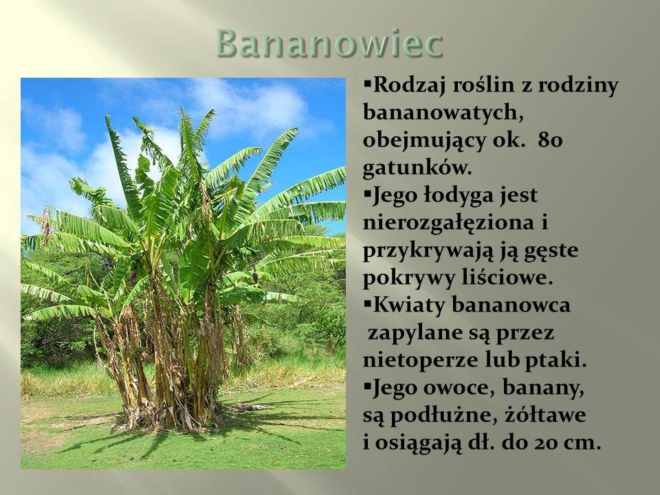 Bananowiec Rodzaj roślin z rodziny