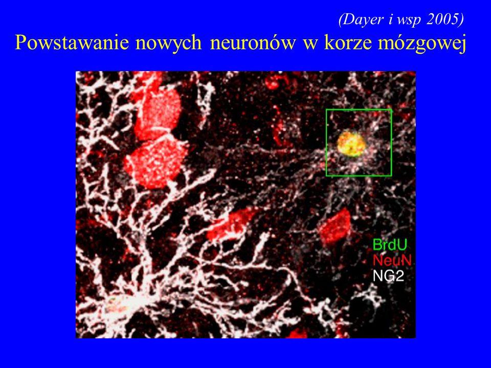 Powstawanie nowych neuronów w korze mózgowej