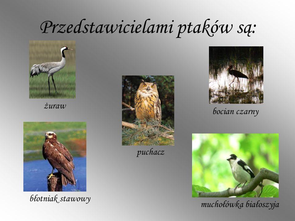 Przedstawicielami ptaków są:
