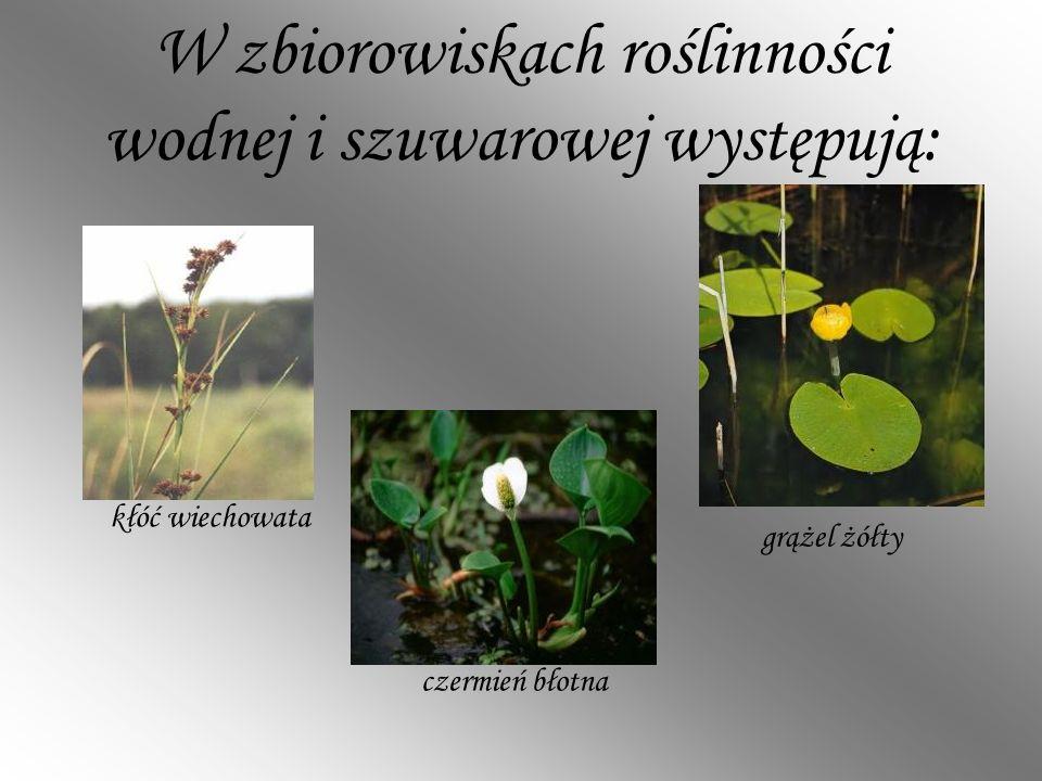 W zbiorowiskach roślinności wodnej i szuwarowej występują:
