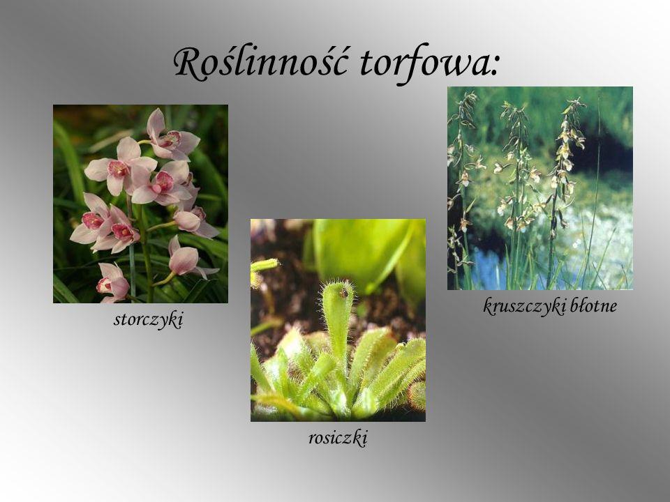 Roślinność torfowa: kruszczyki błotne storczyki rosiczki
