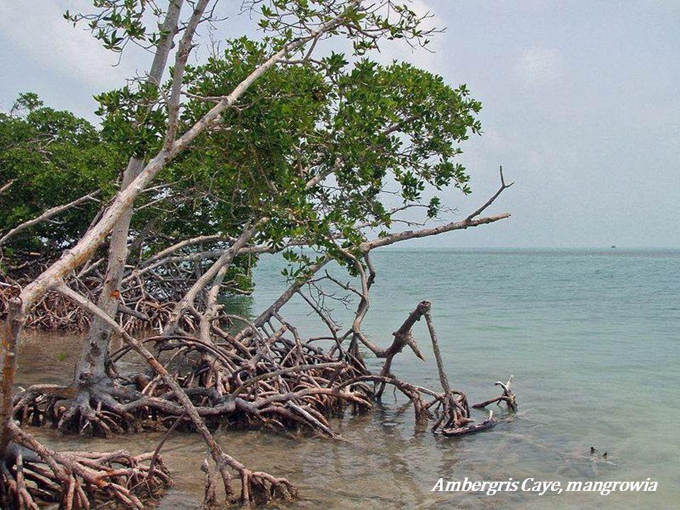 Ambergris Caye, mangrowia
