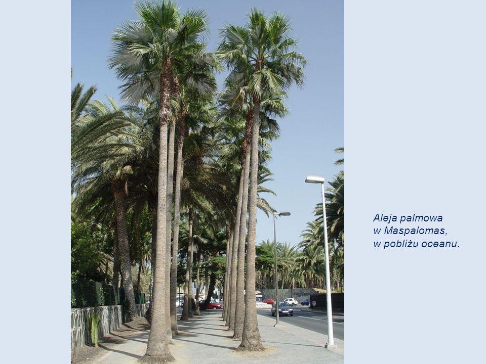 Aleja palmowa w Maspalomas, w pobliżu oceanu.