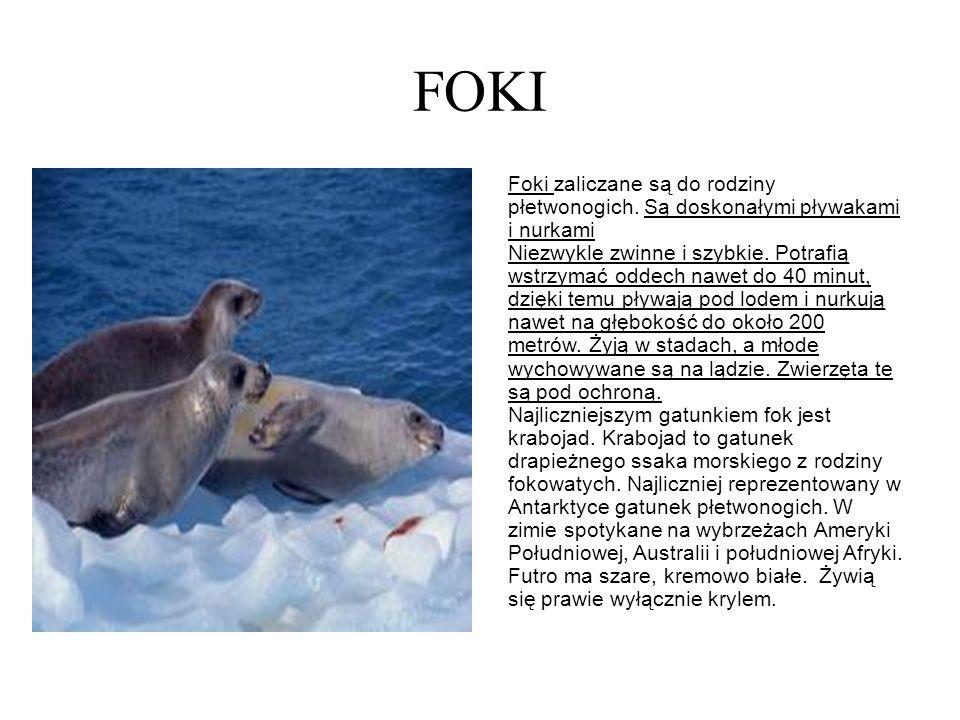 FOKI Foki zaliczane są do rodziny płetwonogich. Są doskonałymi pływakami i nurkami.
