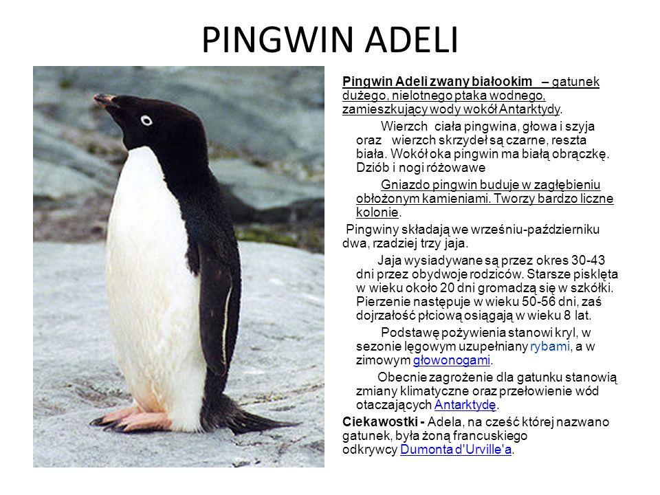 PINGWIN ADELI Pingwin Adeli zwany białookim – gatunek dużego, nielotnego ptaka wodnego, zamieszkujący wody wokół Antarktydy.