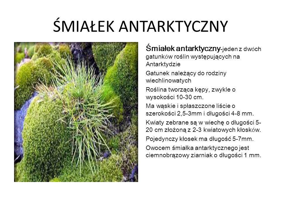 ŚMIAŁEK ANTARKTYCZNY Śmiałek antarktyczny-jeden z dwóch gatunków roślin występujących na Antarktydzie.