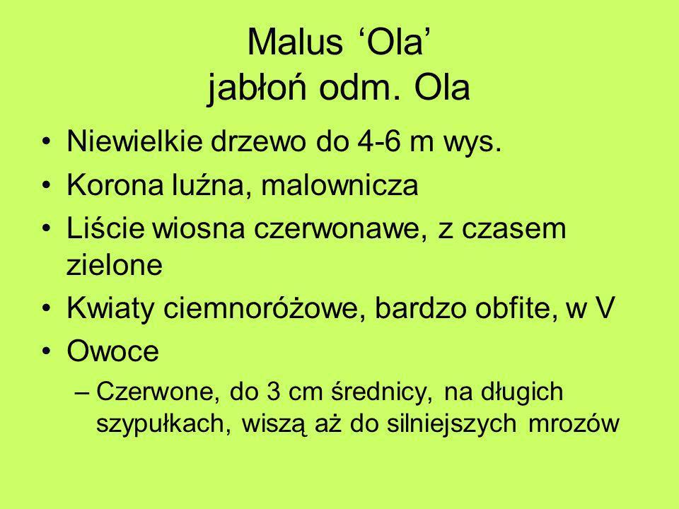 Malus 'Ola' jabłoń odm. Ola