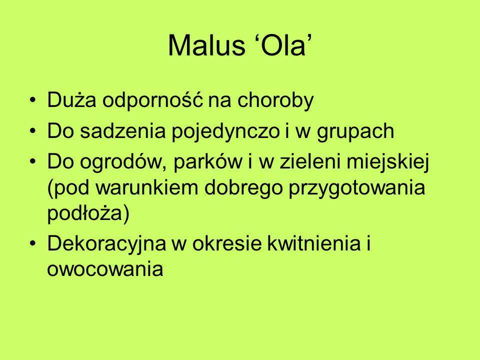 Malus 'Ola' Duża odporność na choroby