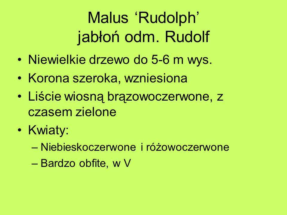 Malus 'Rudolph' jabłoń odm. Rudolf