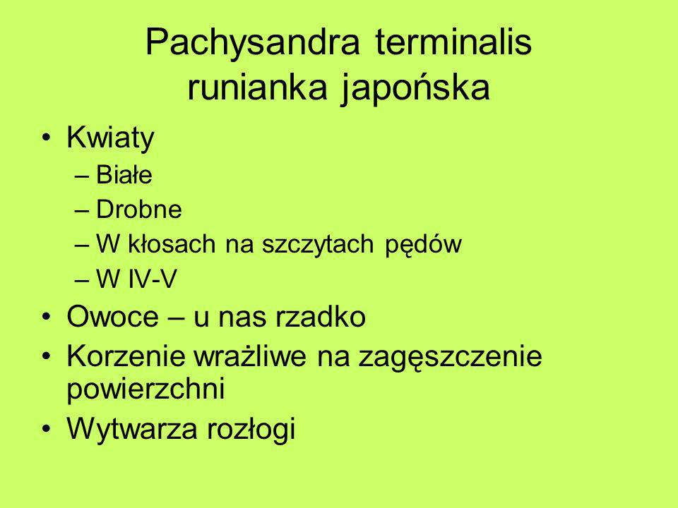 Pachysandra terminalis runianka japońska