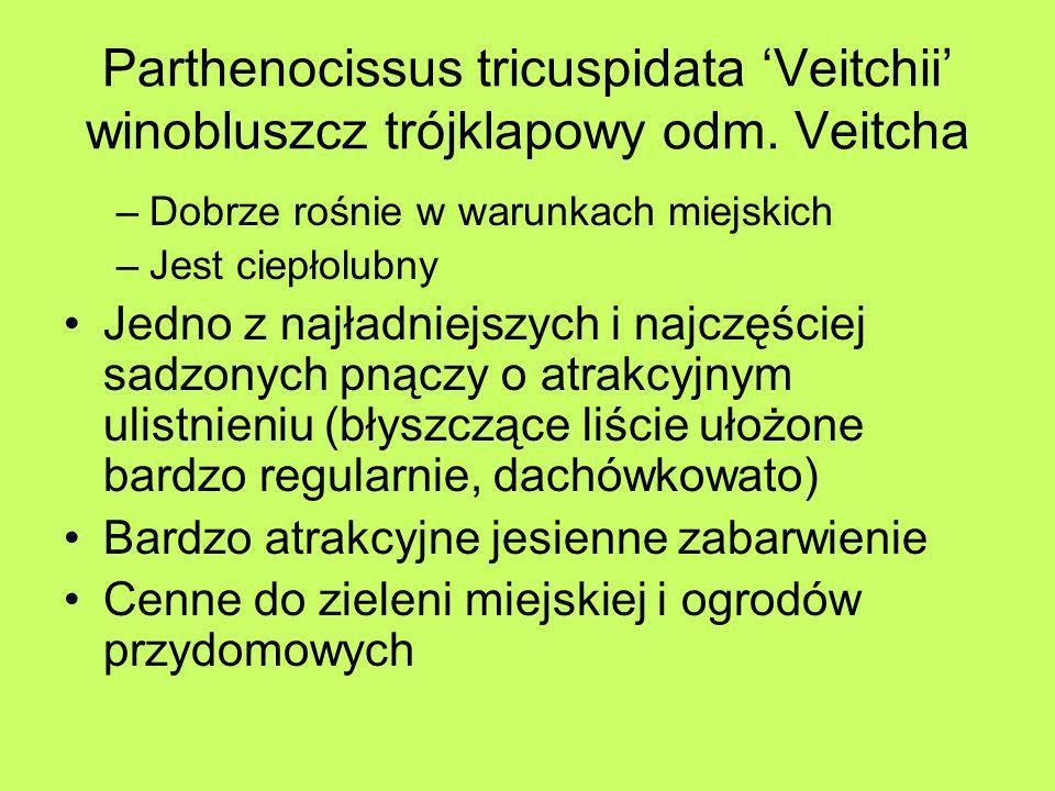 Parthenocissus tricuspidata 'Veitchii' winobluszcz trójklapowy odm