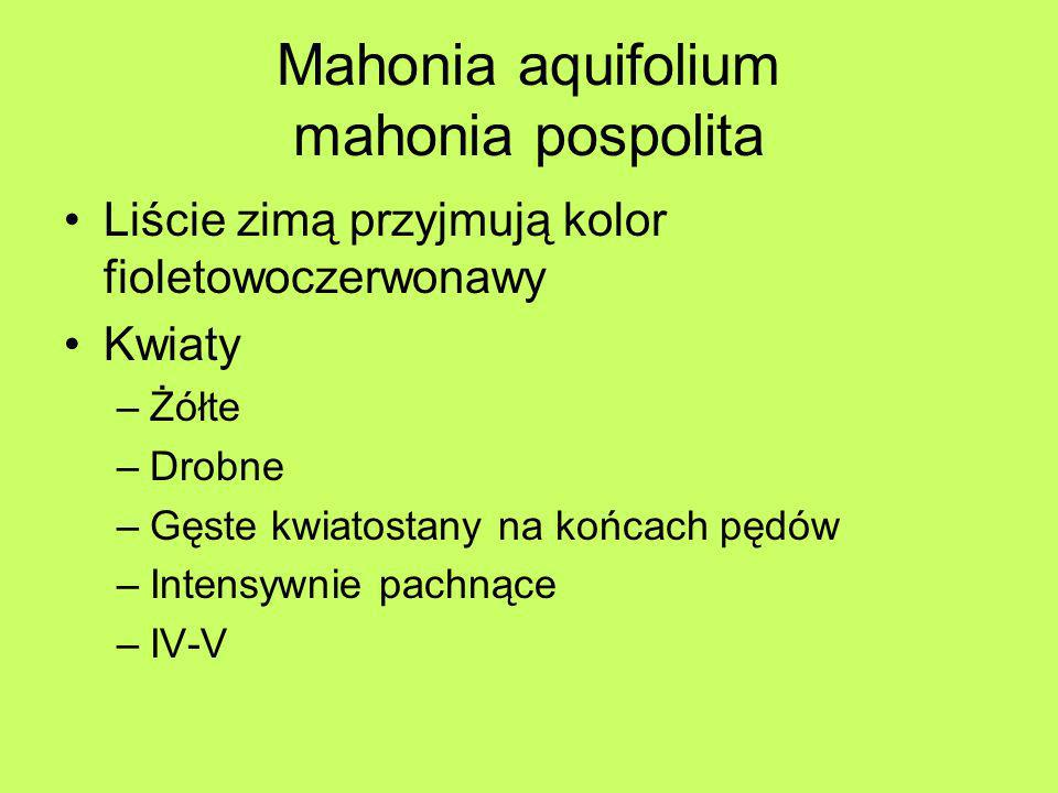Mahonia aquifolium mahonia pospolita
