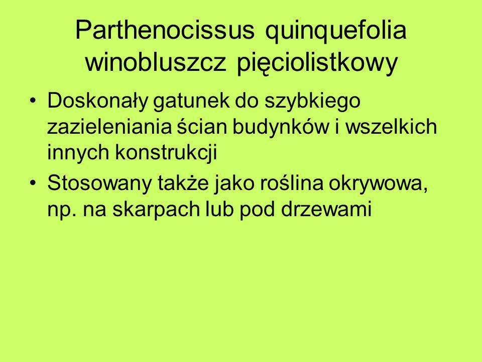 Parthenocissus quinquefolia winobluszcz pięciolistkowy