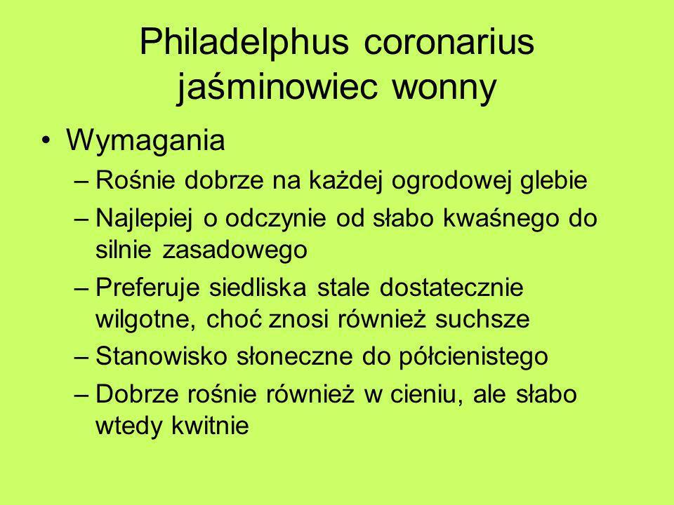 Philadelphus coronarius jaśminowiec wonny