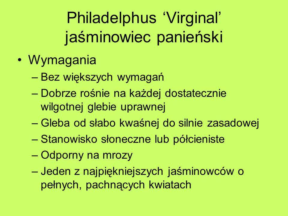 Philadelphus 'Virginal' jaśminowiec panieński
