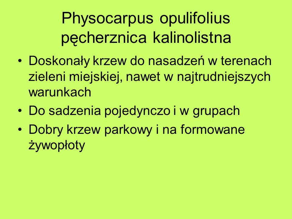 Physocarpus opulifolius pęcherznica kalinolistna