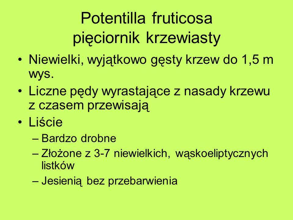 Potentilla fruticosa pięciornik krzewiasty