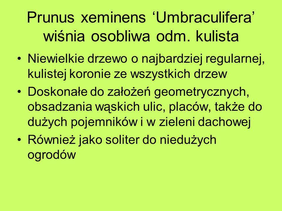 Prunus xeminens 'Umbraculifera' wiśnia osobliwa odm. kulista