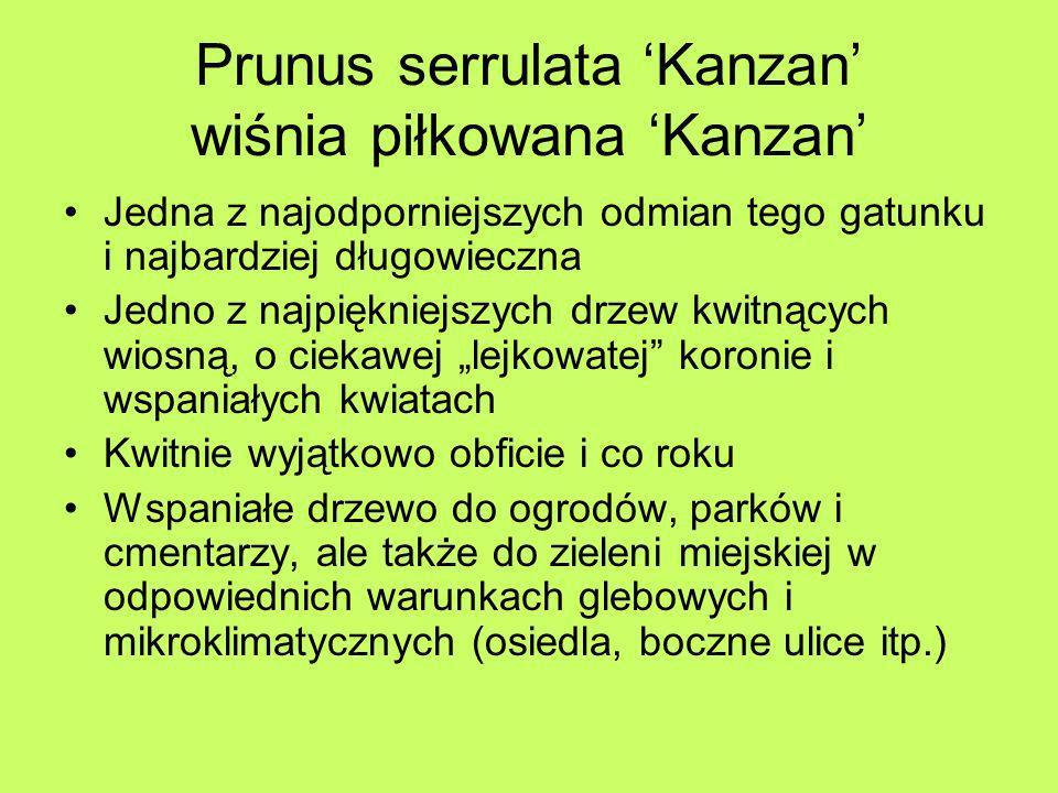 Prunus serrulata 'Kanzan' wiśnia piłkowana 'Kanzan'