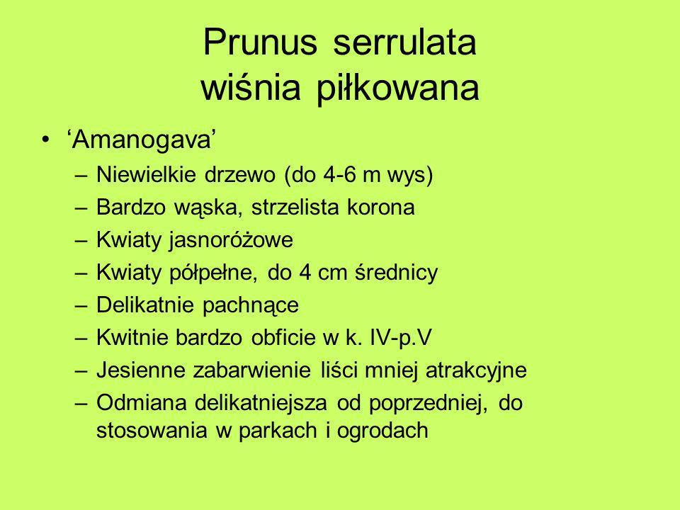 Prunus serrulata wiśnia piłkowana